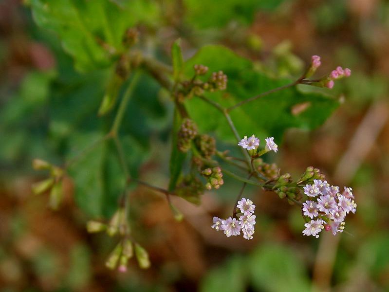Boerhavia erecta in Hyderabad W IMG 8887.jpg © J.M.Garg