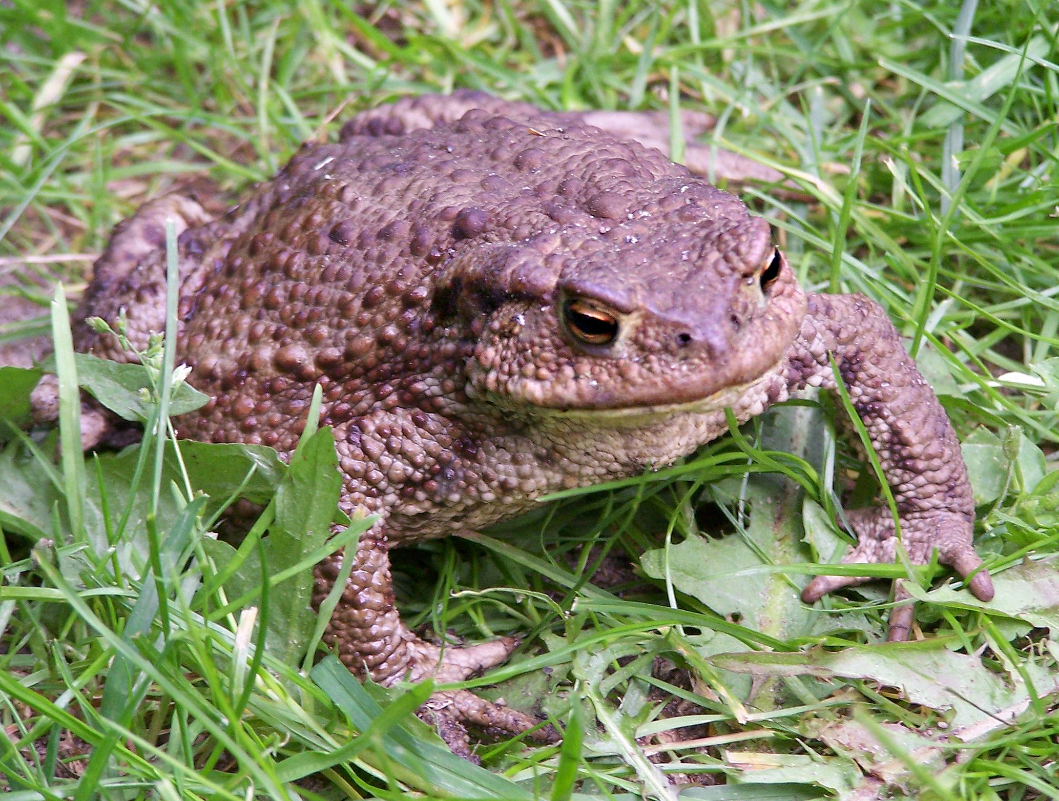 Frogs and toads are one of the three main groups of amphibians