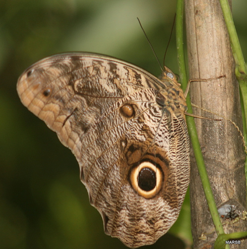 Bộ sưu tập cánh vẩy 6 Caligo_eurilochus_brasiliensis