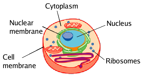 Draw a picture of an animal cell and label the following parts: Cell
