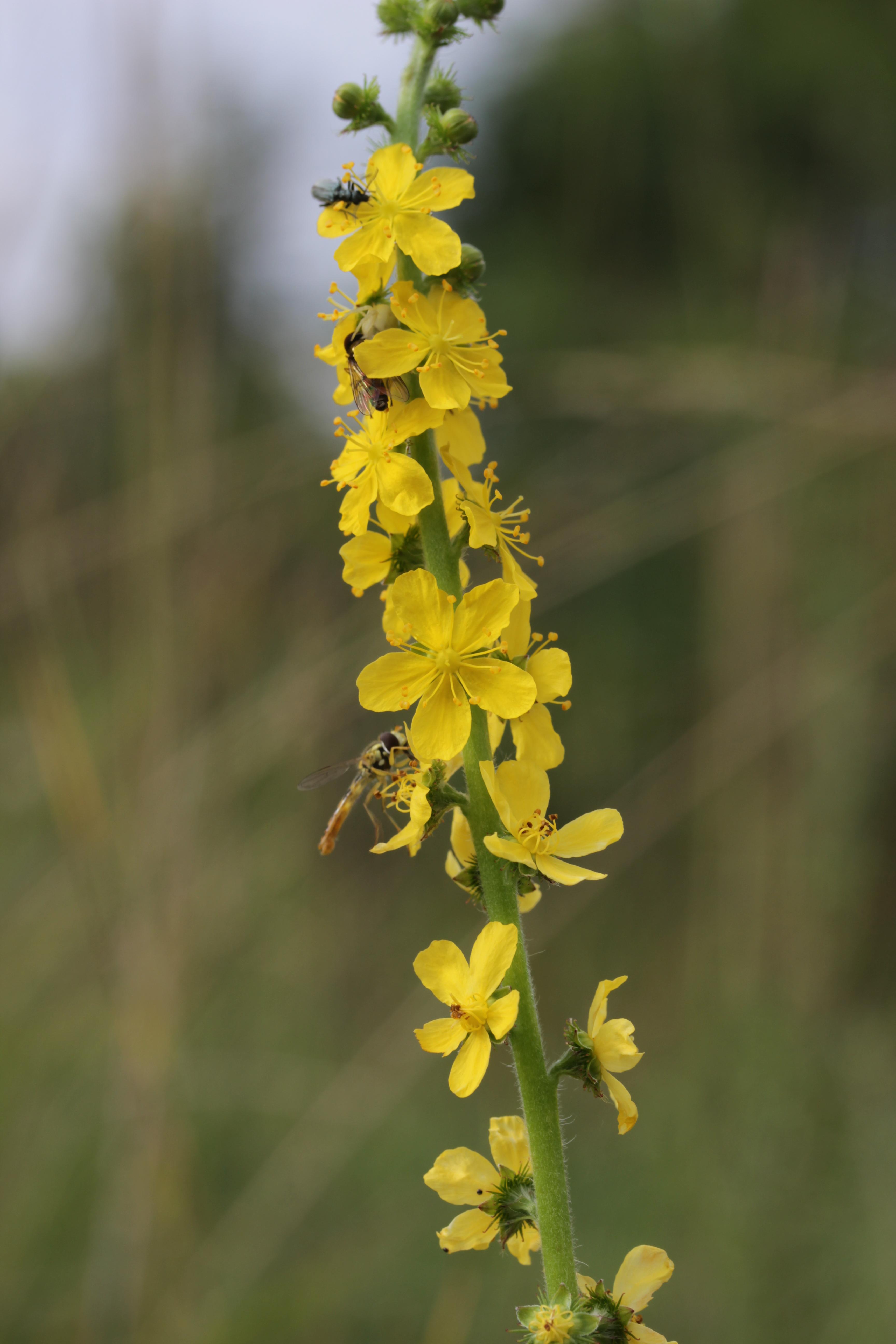 FileCommon Agrimony   Agrimonia eupatoria 20.jpg ...