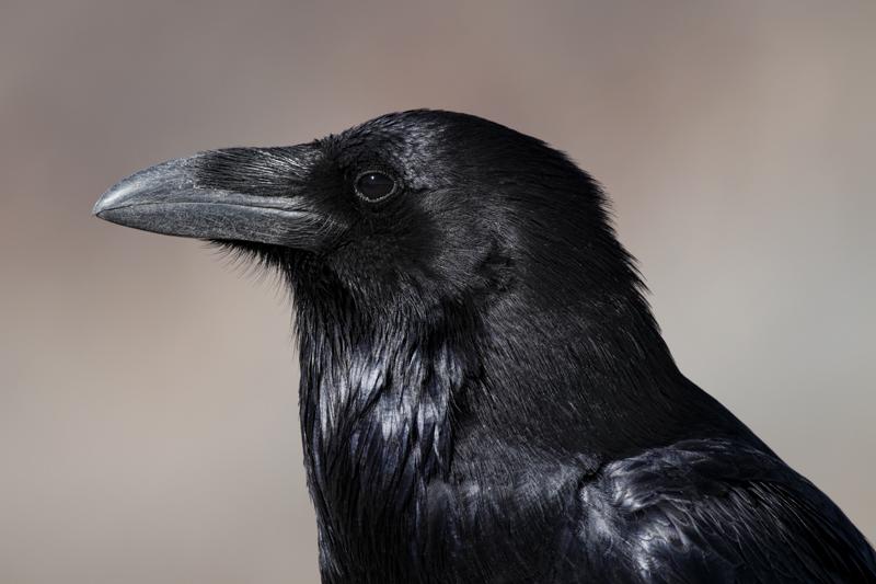 File:Corvus corax head profile.jpg