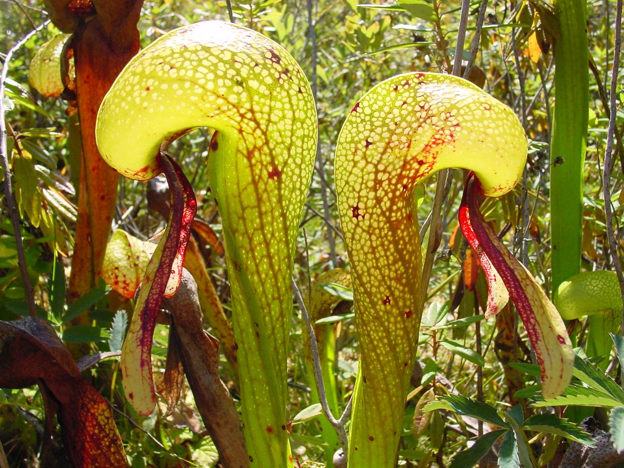File:Darlingtonia californica ne9.JPG - Wikimedia Commons