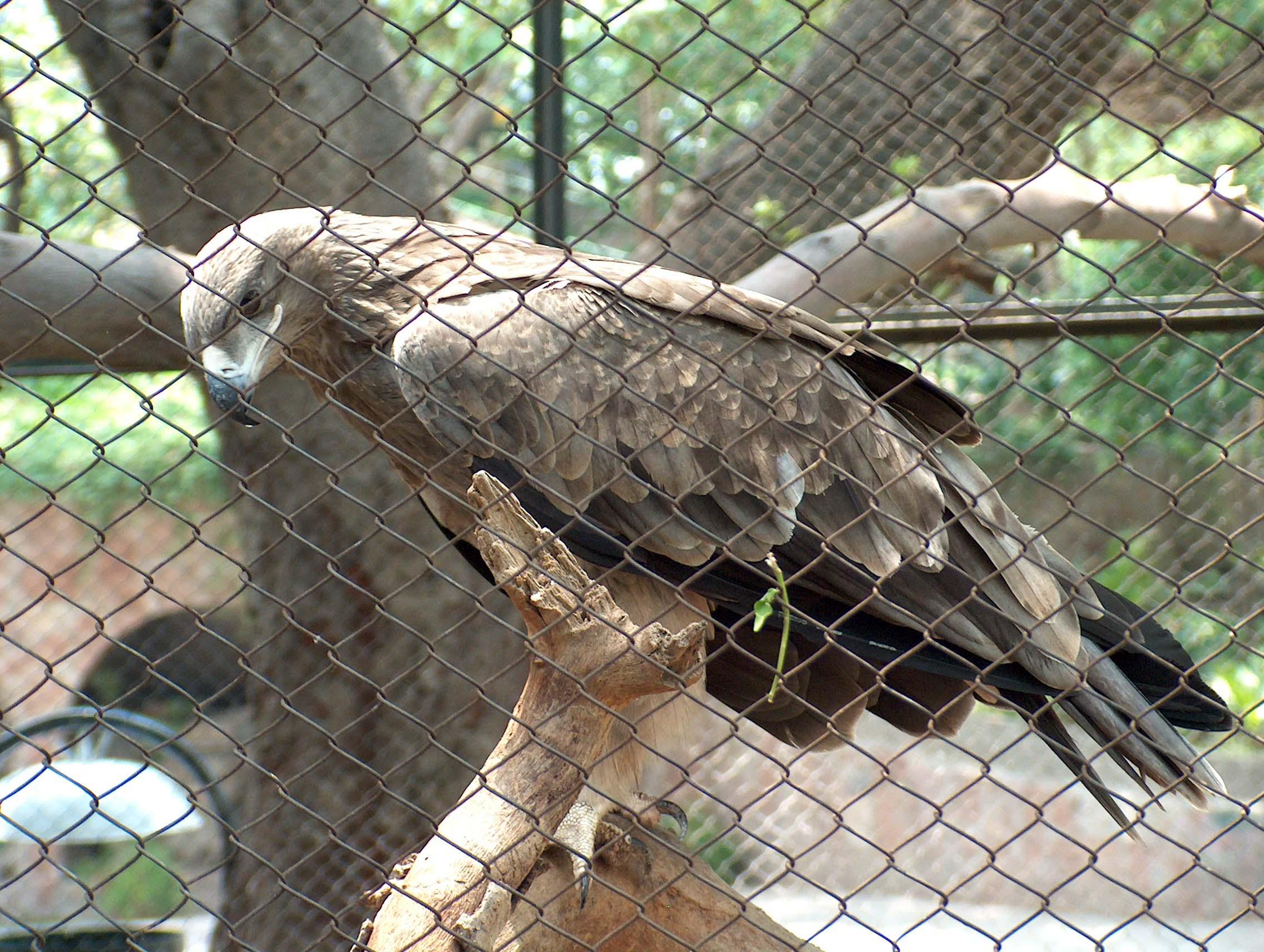 Wikipedia Steppe Eagle a Steppe Eagle in Lahore Zoo