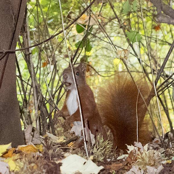 Eichhörnchen im Unterholz