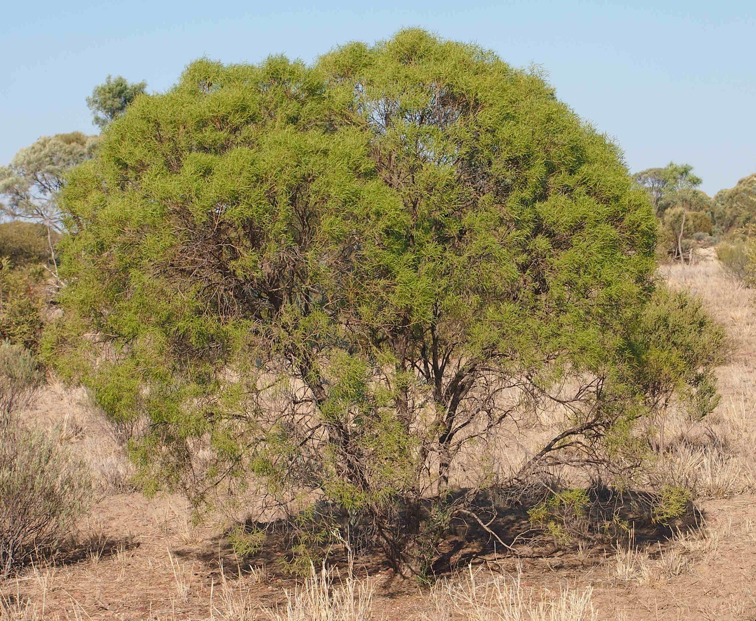 Eremophila mitchellii - Wikipedia