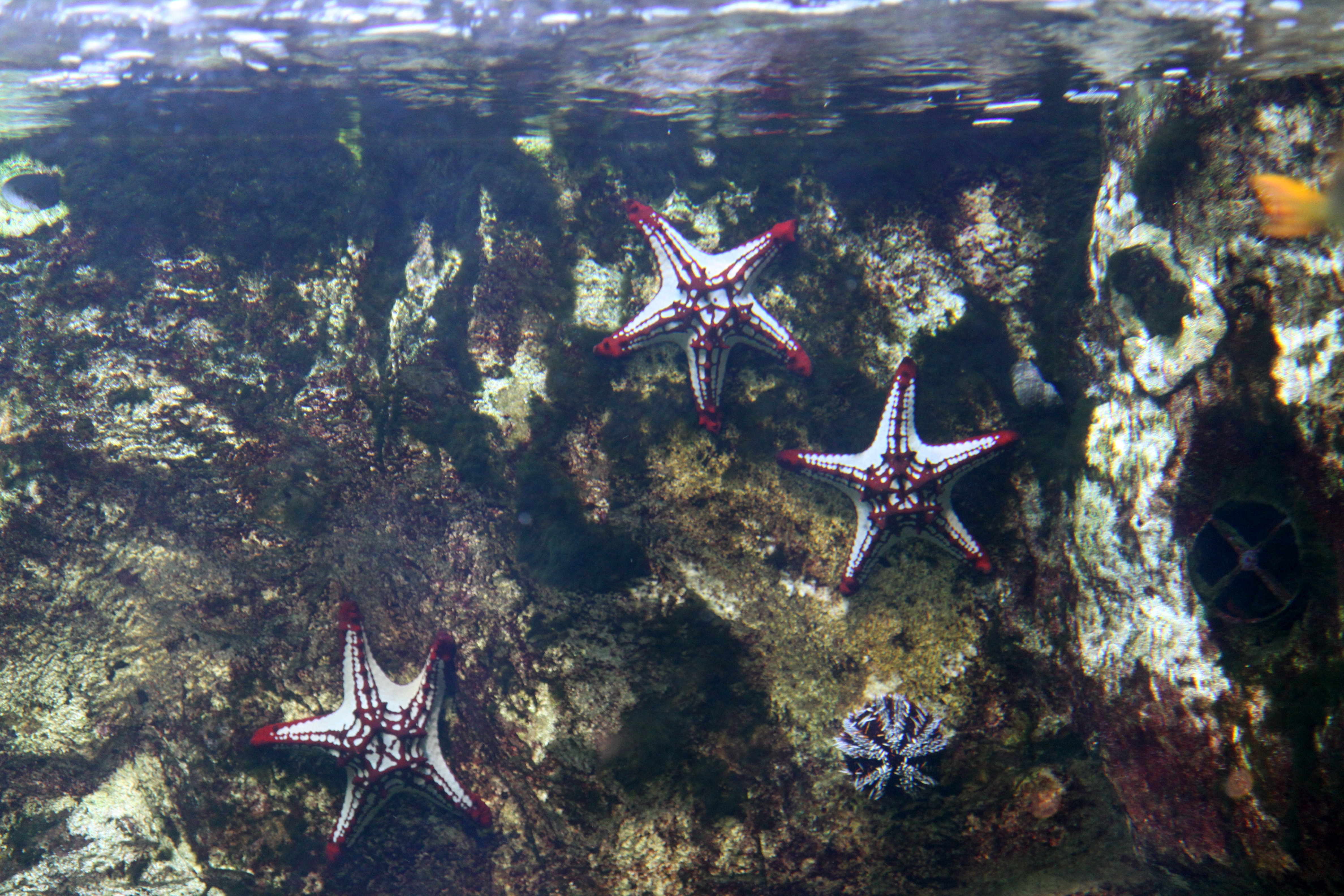 File etoiles de mer l 39 aquarium tropical de la porte dor e jpg wikimedia commons - Aquarium tropical de la porte doree ...
