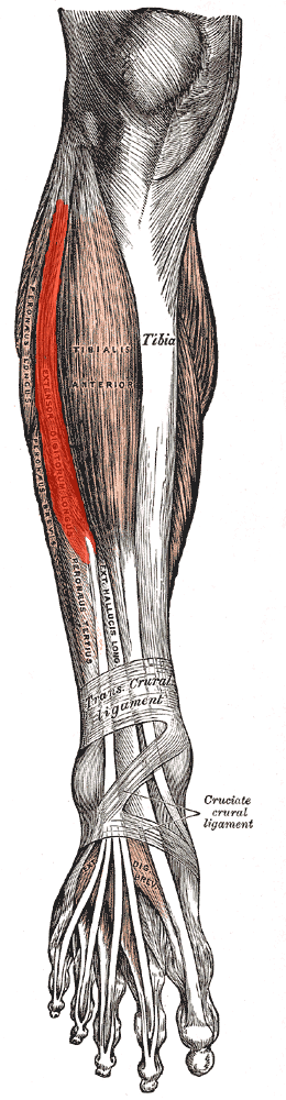 tendons of foot. Also various tendons