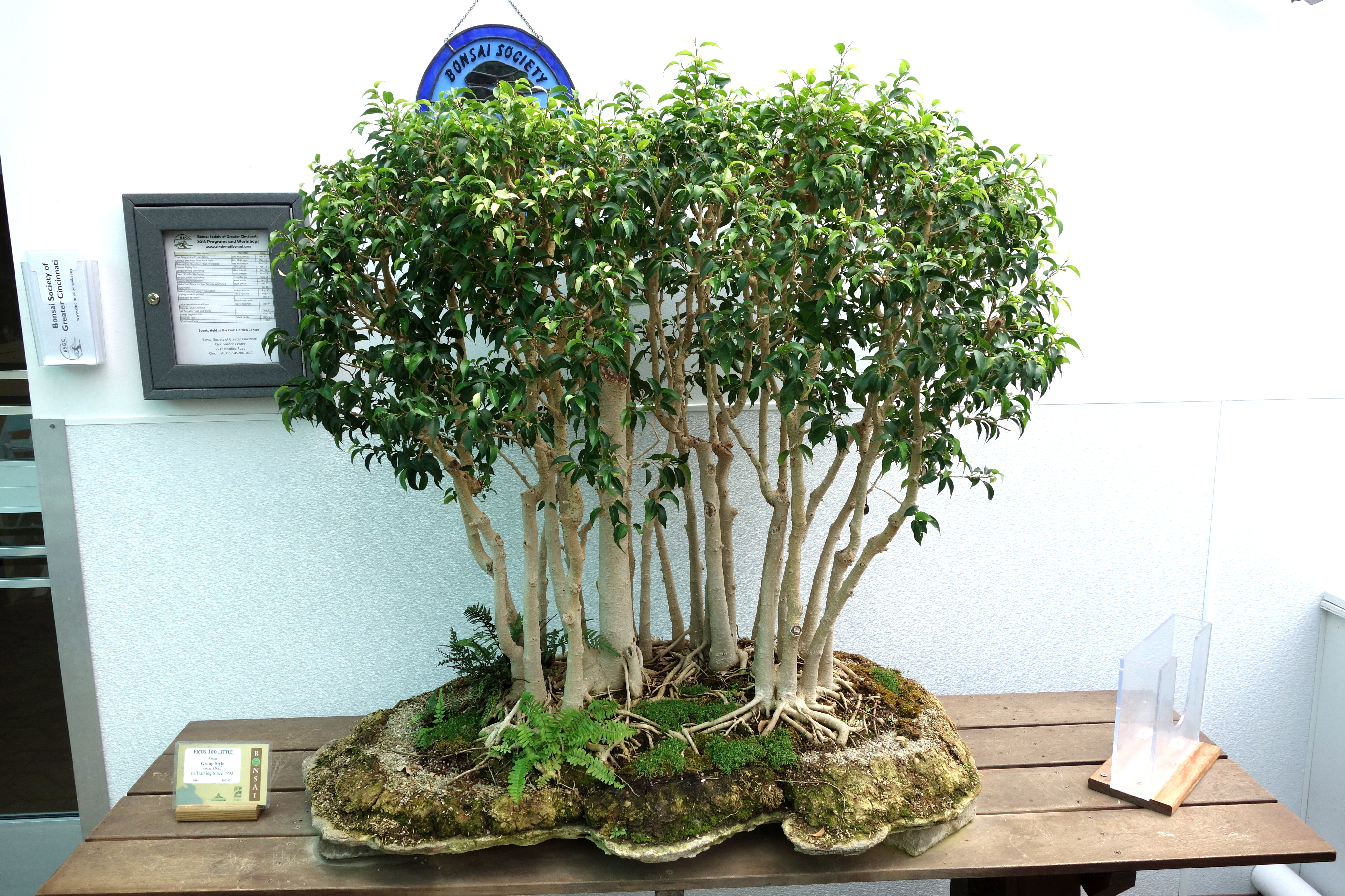 file ficus sp bonsai krohn conservatory dsc03577 jpg. Black Bedroom Furniture Sets. Home Design Ideas