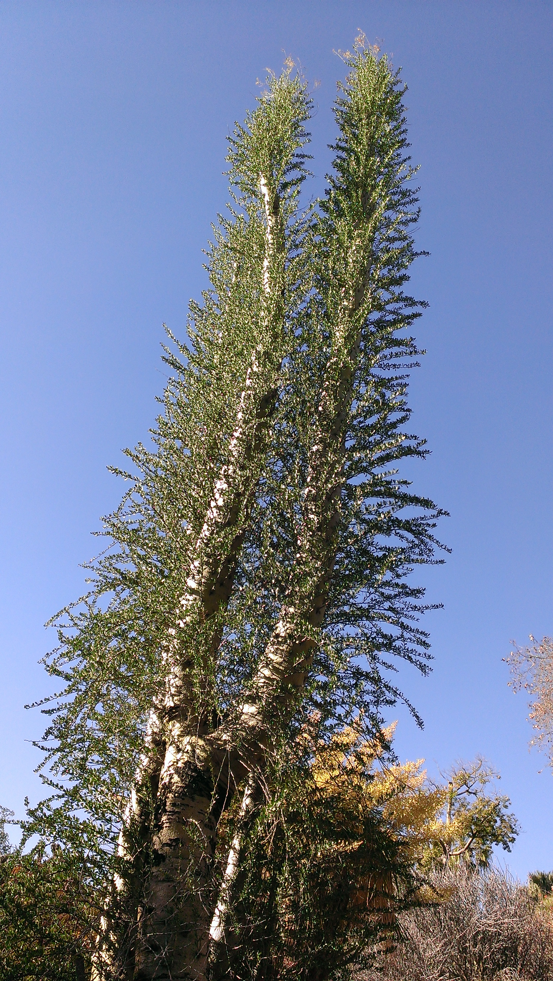 Fouquieria columnaris Boojum tree at Huntington Library Art Collections and Botanical Gardens