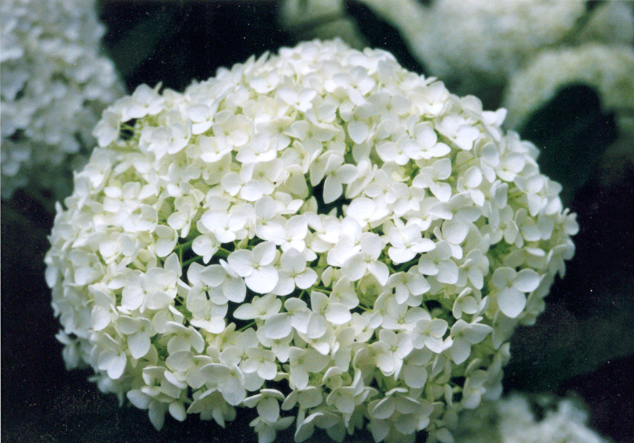 File Hydrangea Heads Pale Png Wikimedia Commons