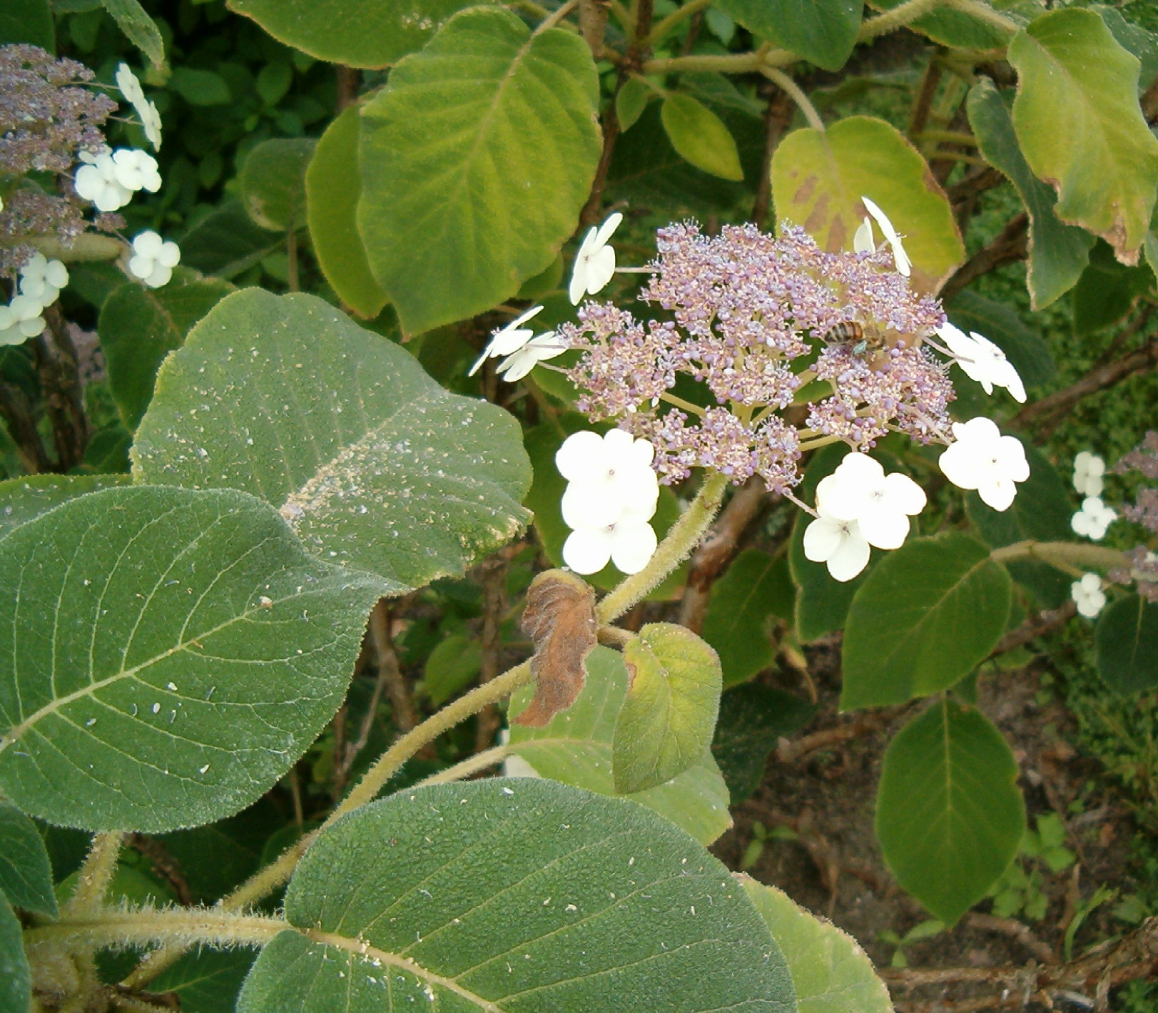 file hydrangea aspera sargentiana leavesinflorescence wikimedia commons. Black Bedroom Furniture Sets. Home Design Ideas