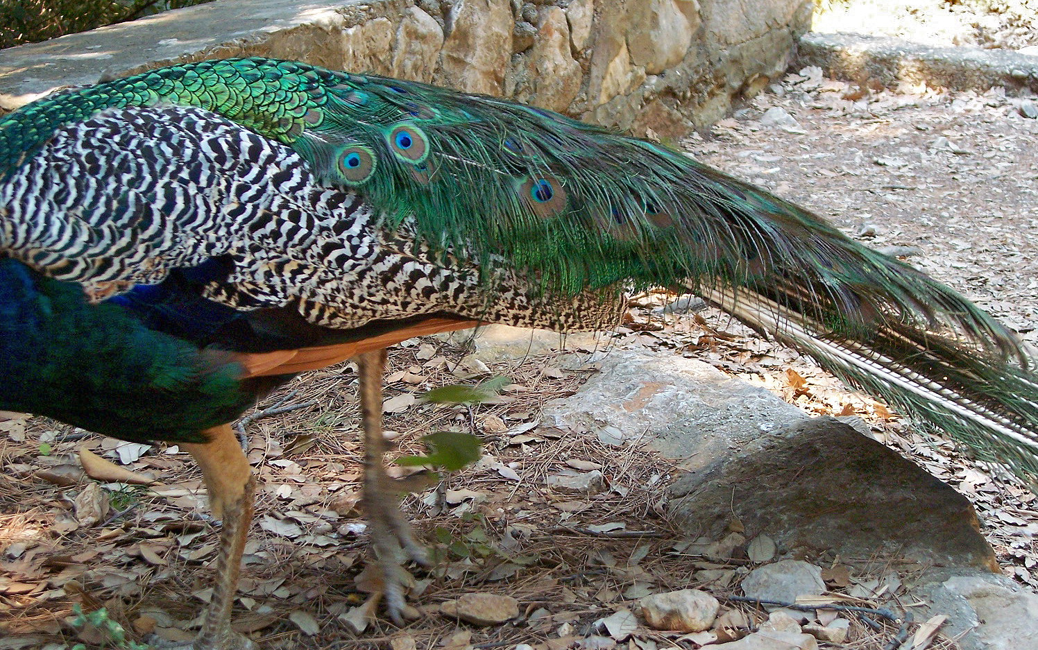 indian peafowl photos and - photo #22