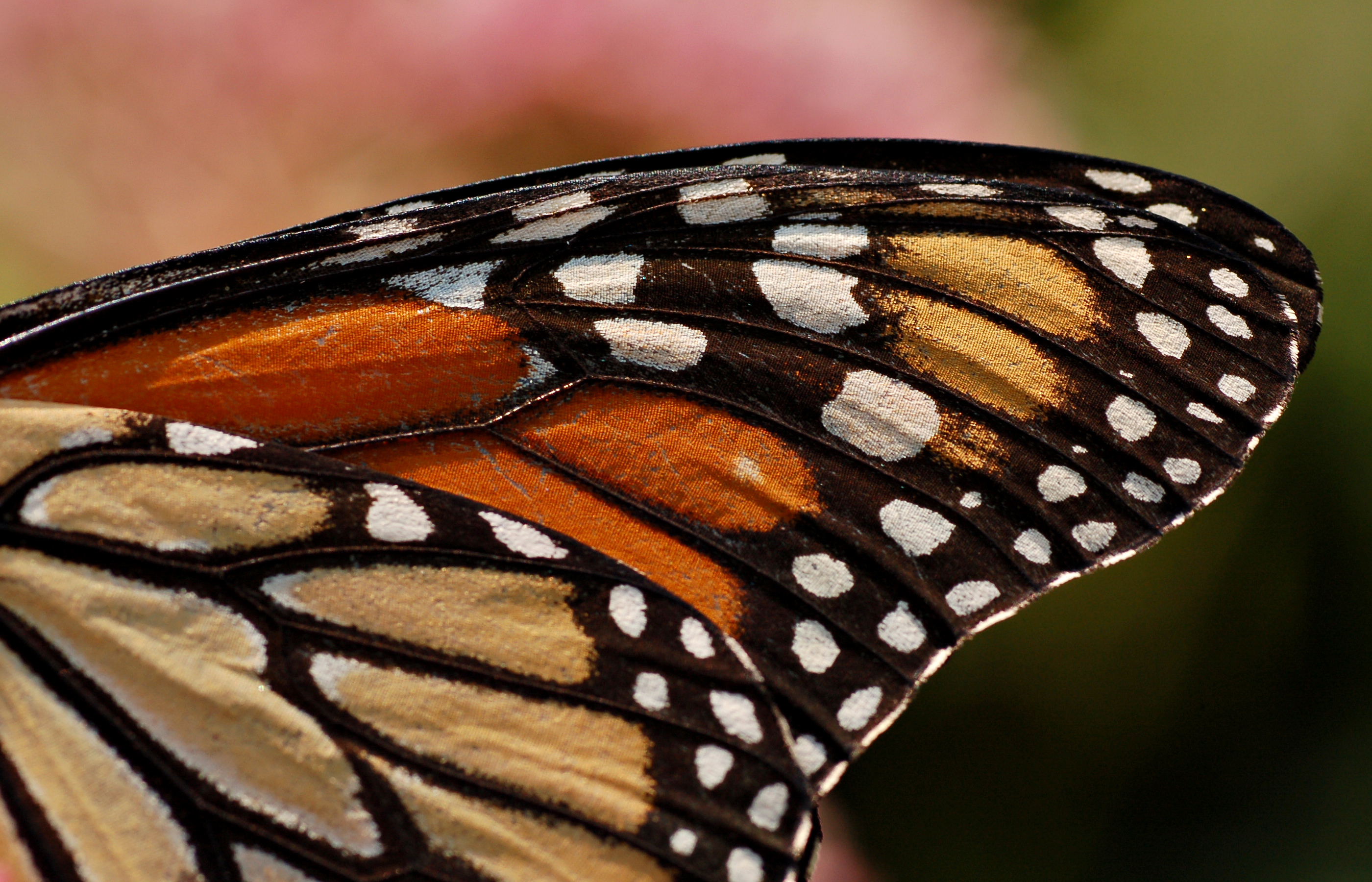 File Monarch Butterfly Danaus Plexippus Wing 2800px Jpg