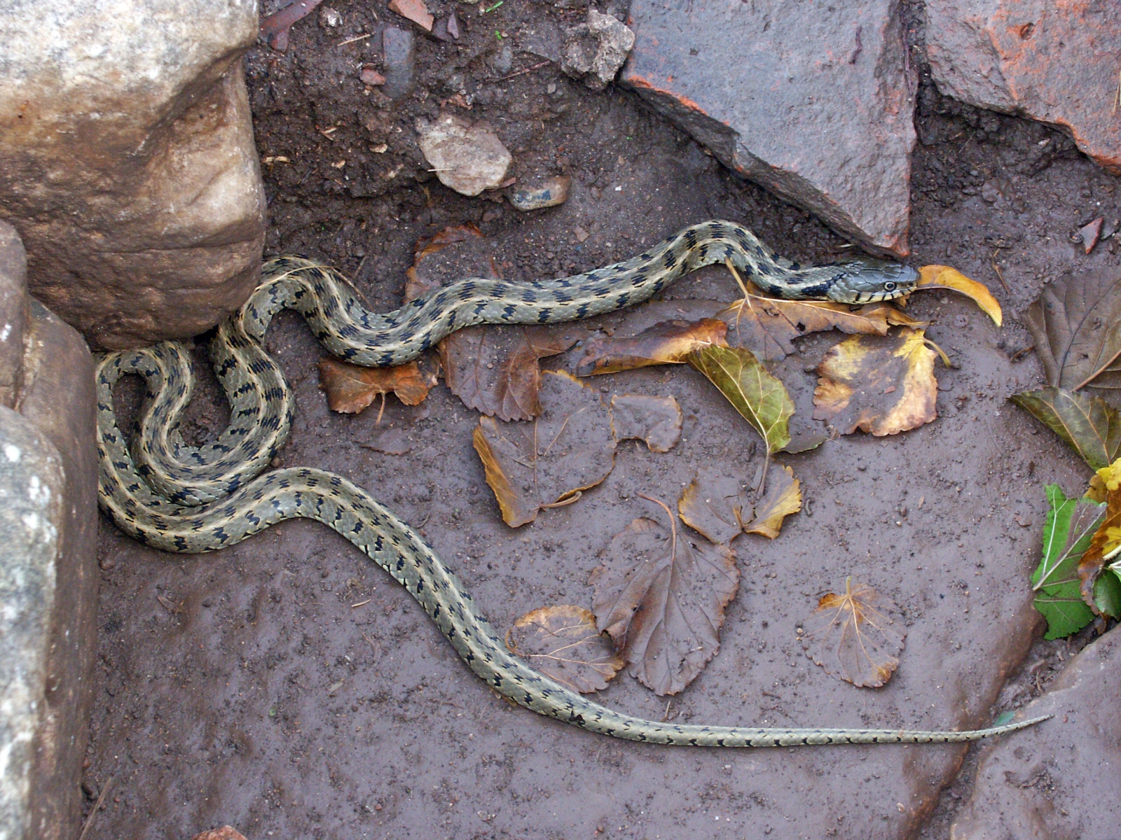 English Grass Snake