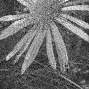 תמונה של פרח שיש בה רעש חזותי המפריע לעיבוד המידע