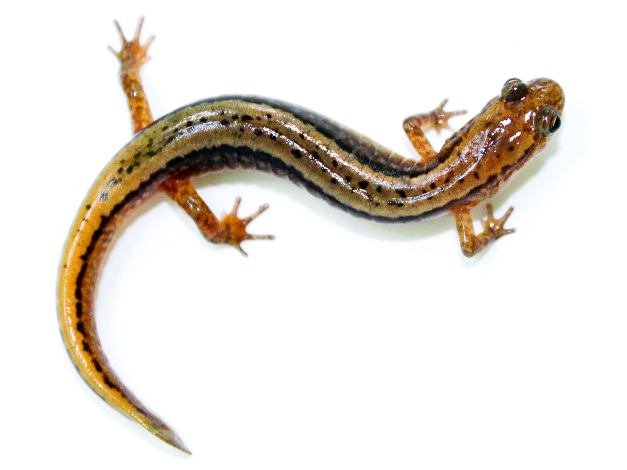 Northern two-lined SALAMANDER - Wikipedia, the free encyclopedia