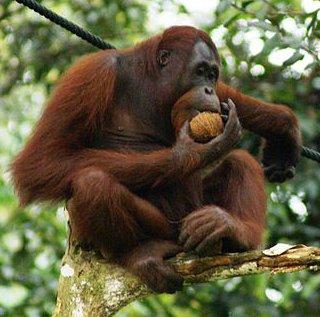 Orang Utan, Semenggok Forest Reserve, Sarawak, Borneo, Malaysia crop.JPG