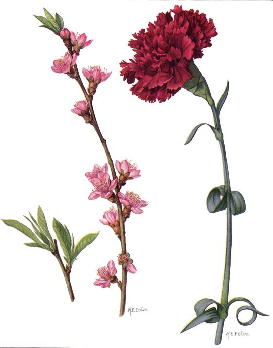 File:Peach Blossom and...