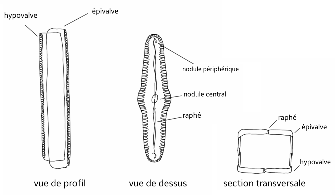 diatom diagram - photo #16