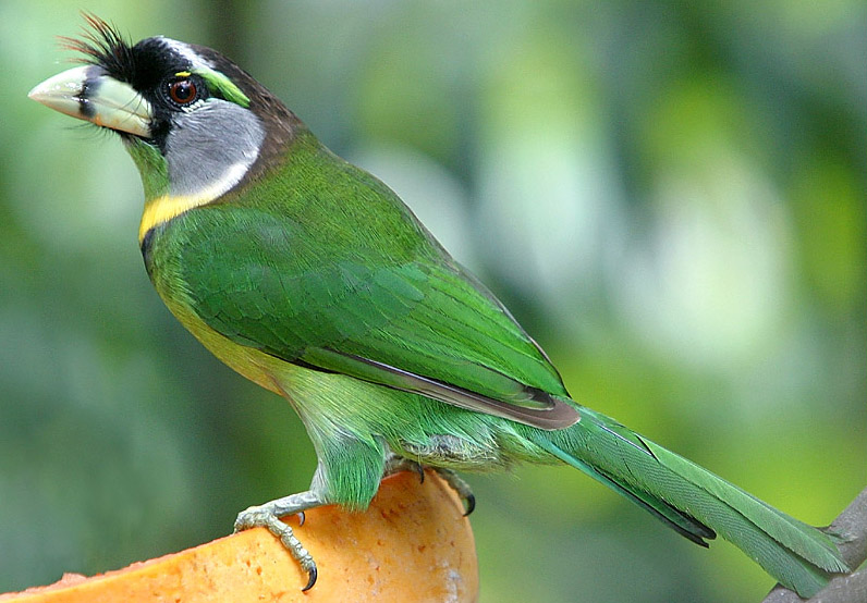 Fire Tufted Barbet Wikipedia