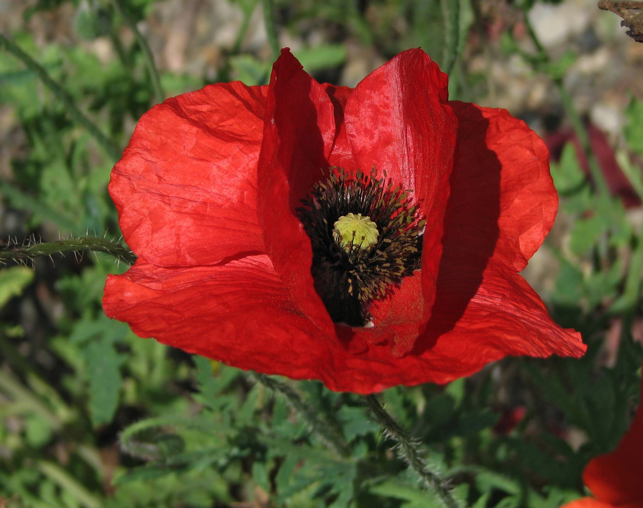Filered Poppy Papaver Flower Closeup 2049pxg Wikimedia Commons