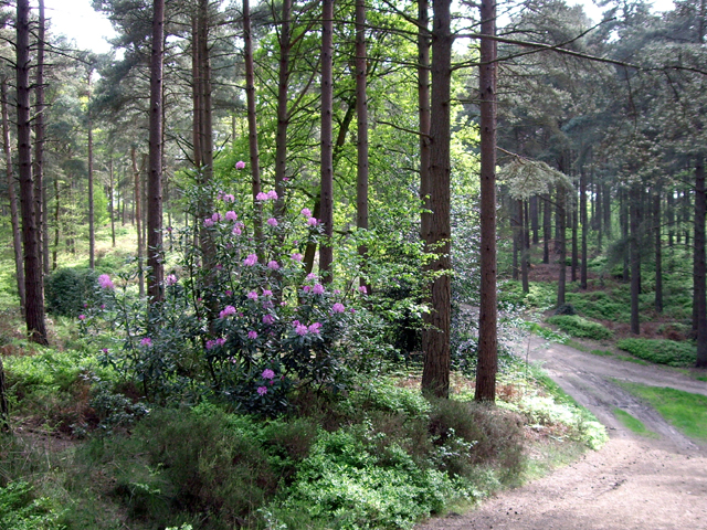 Rhododendron in the Hurtwood - geograph.org.uk - 1302050