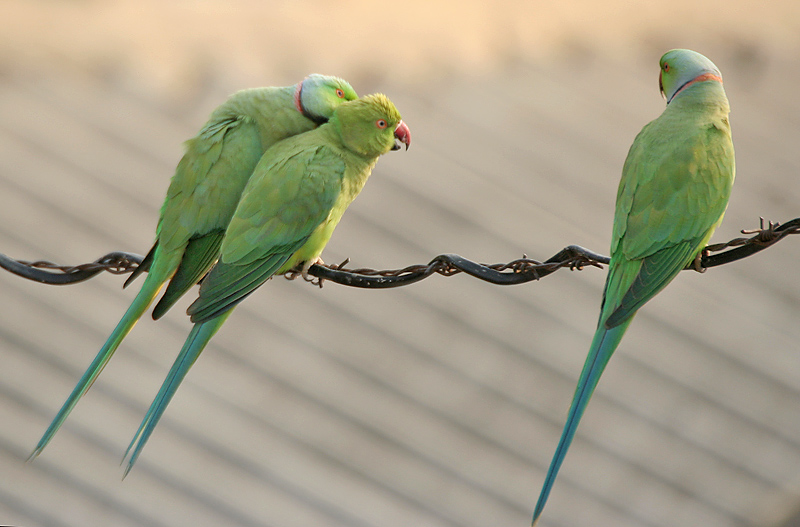 File:Rose-ringed Parakeets (Male & Female)- Foreplay at Hodal while