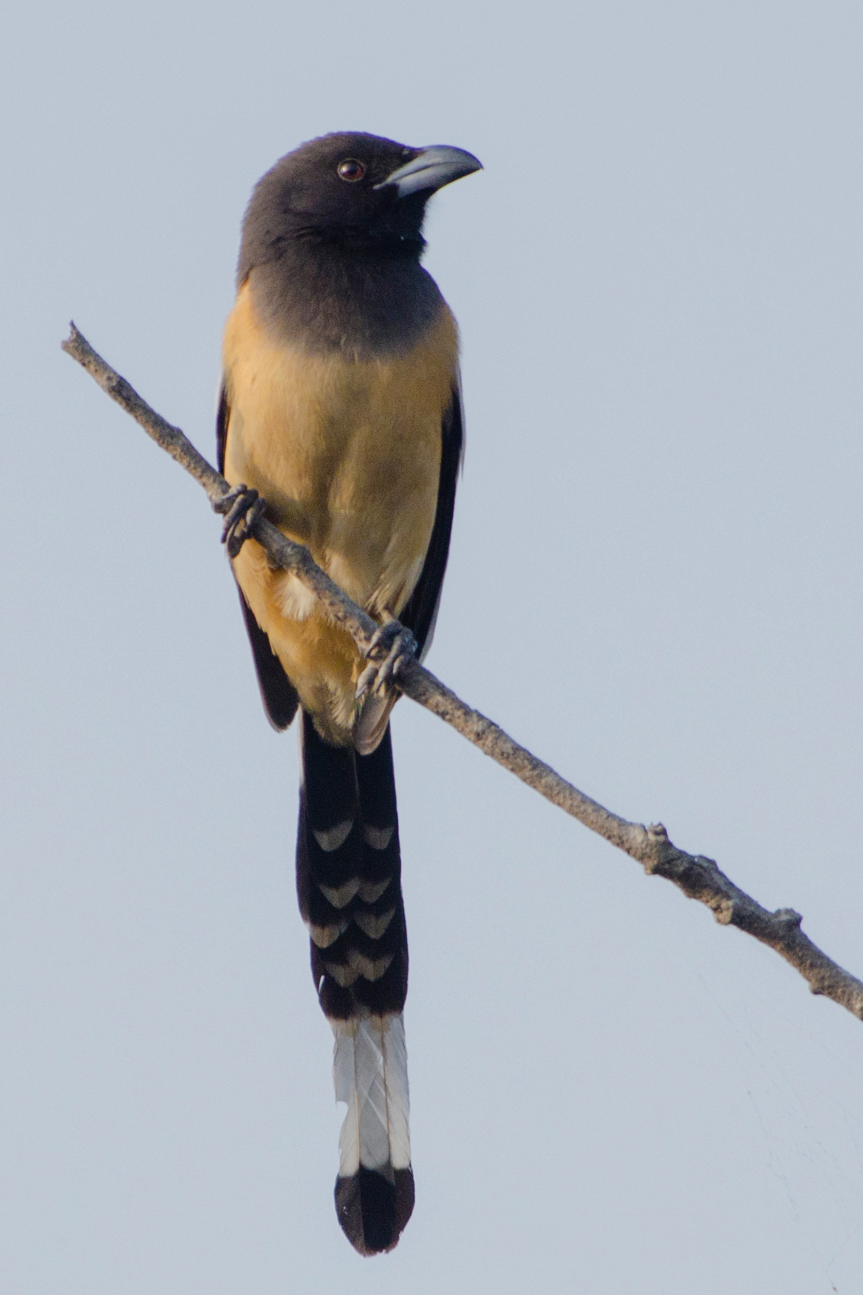 File Rufous Treepie Clicked At Nagpur India By Dr Tejinder