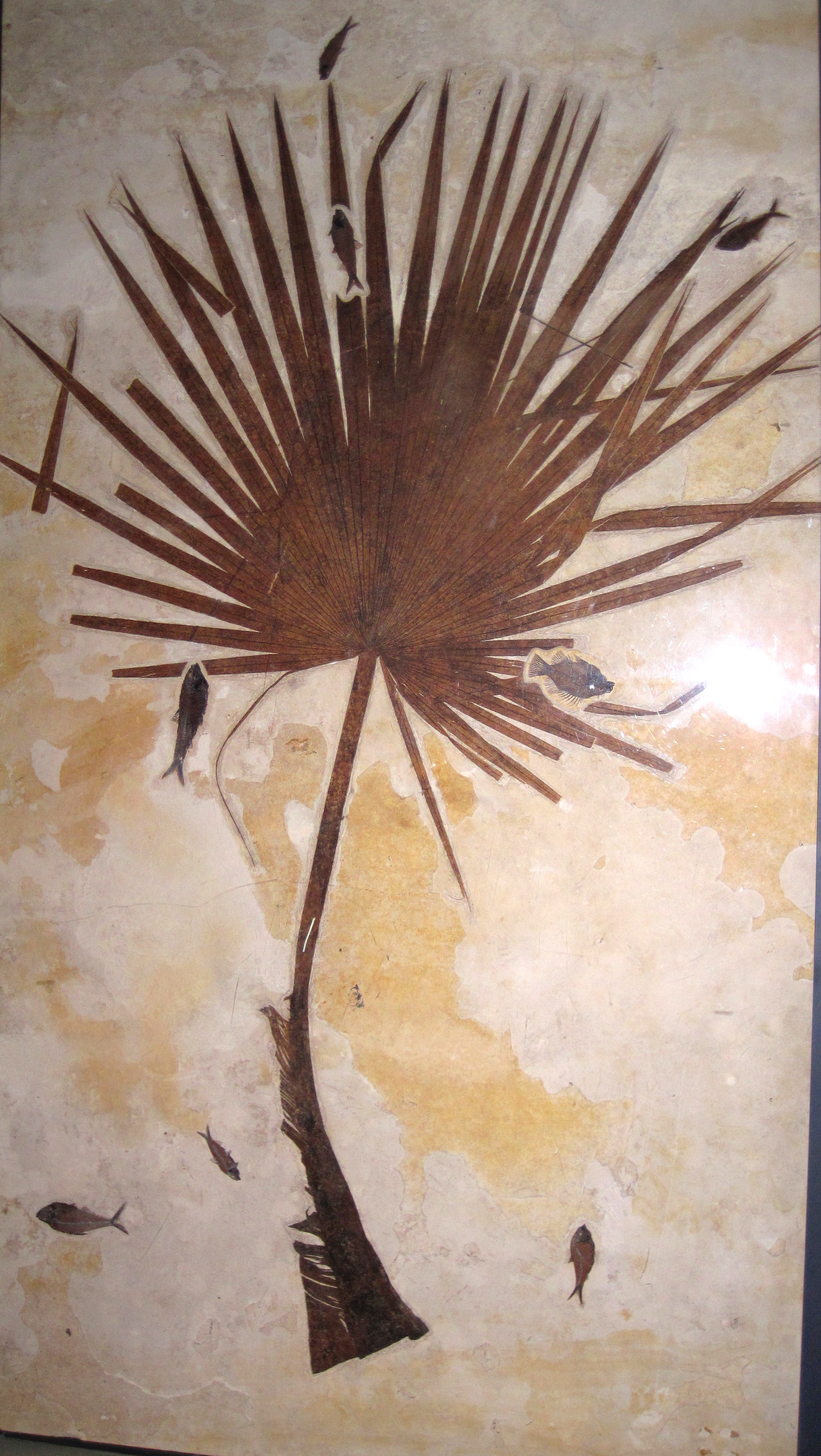 File:Sabalites powelli fossil palm frond & fossil fish (Green River Formation, Lower Eocene ...