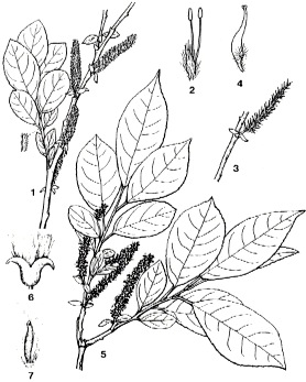 Description de l'image Salix vulpina.png.