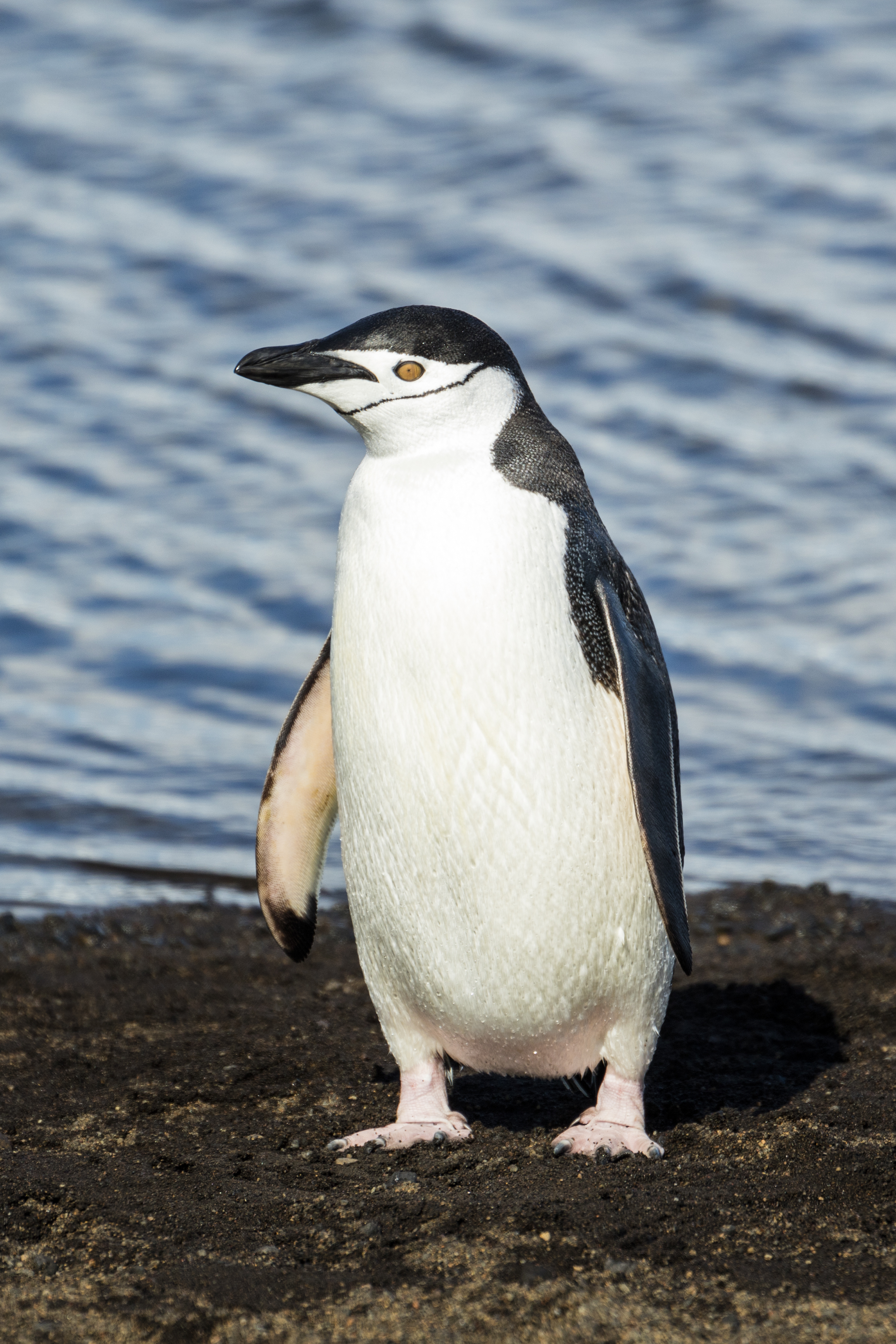 Penguin - Wikipedia