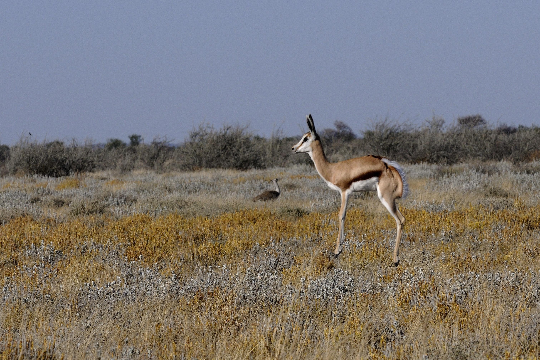 File:Springbock (Antidorcas Marsupialis)-01.jpg
