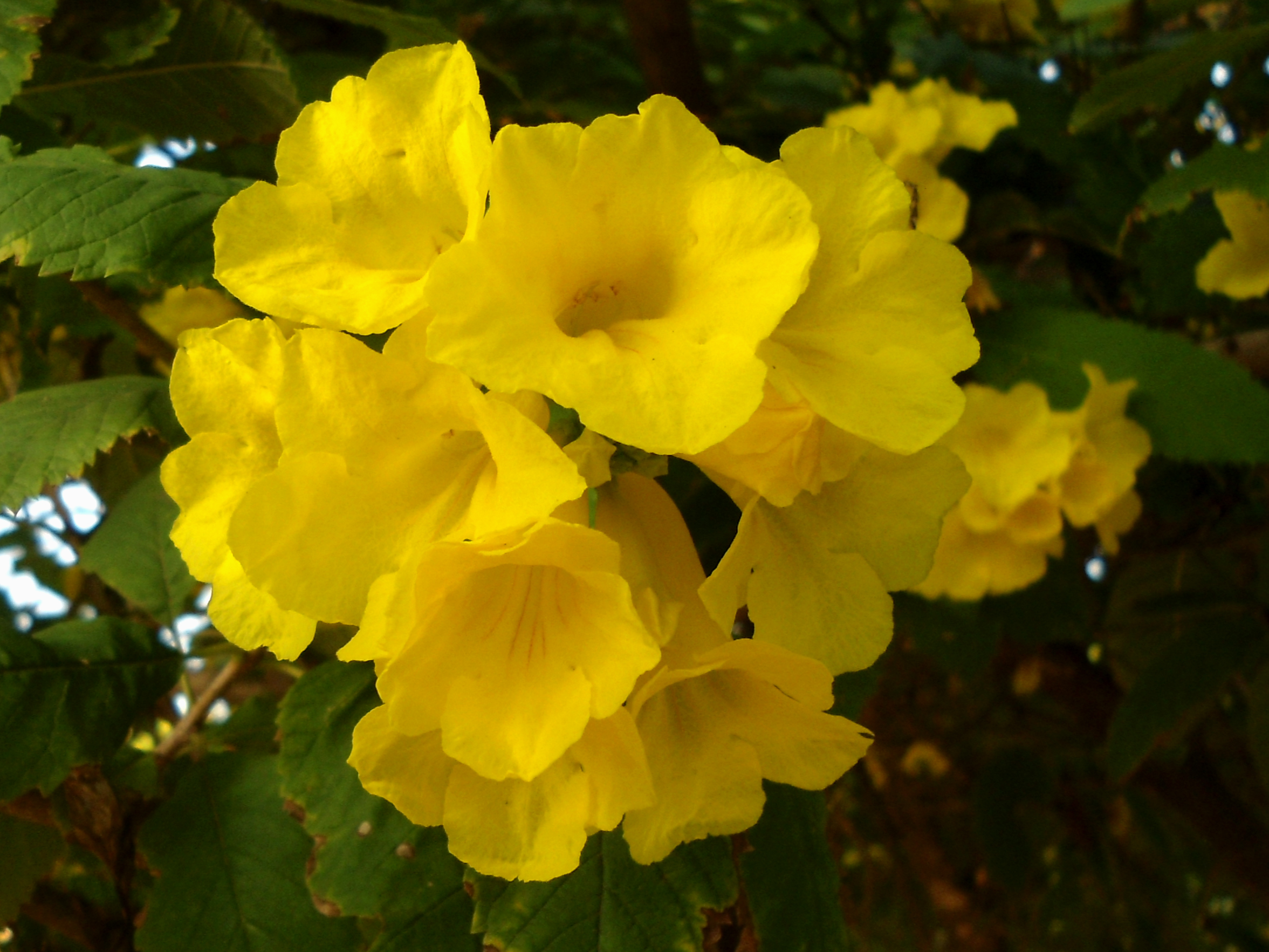 Filetecoma Stans Yellow Bell Flowers At Shilparamam Jaatara 02g