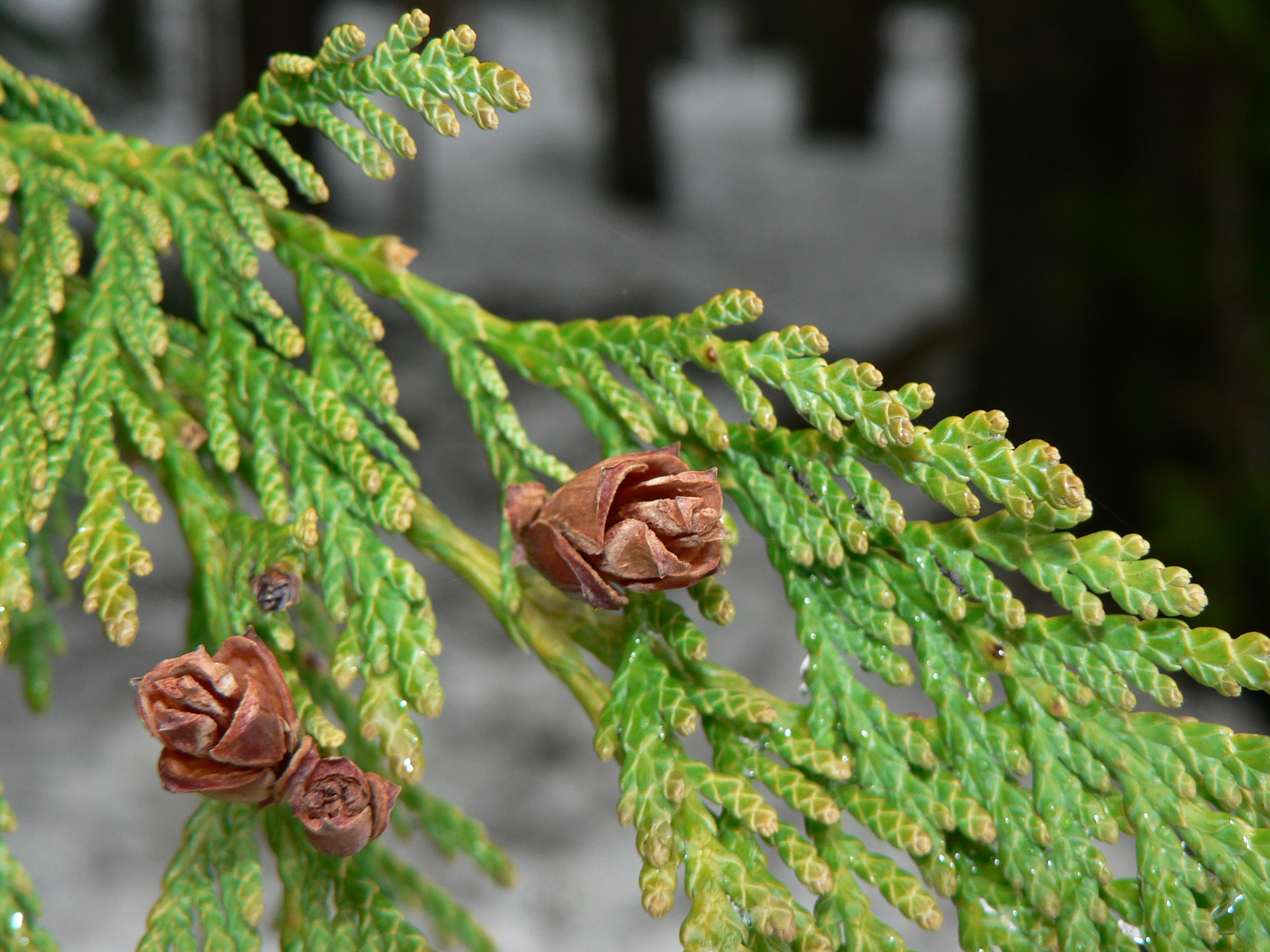 Cedarwood essential oil a myriad of uses history quotes