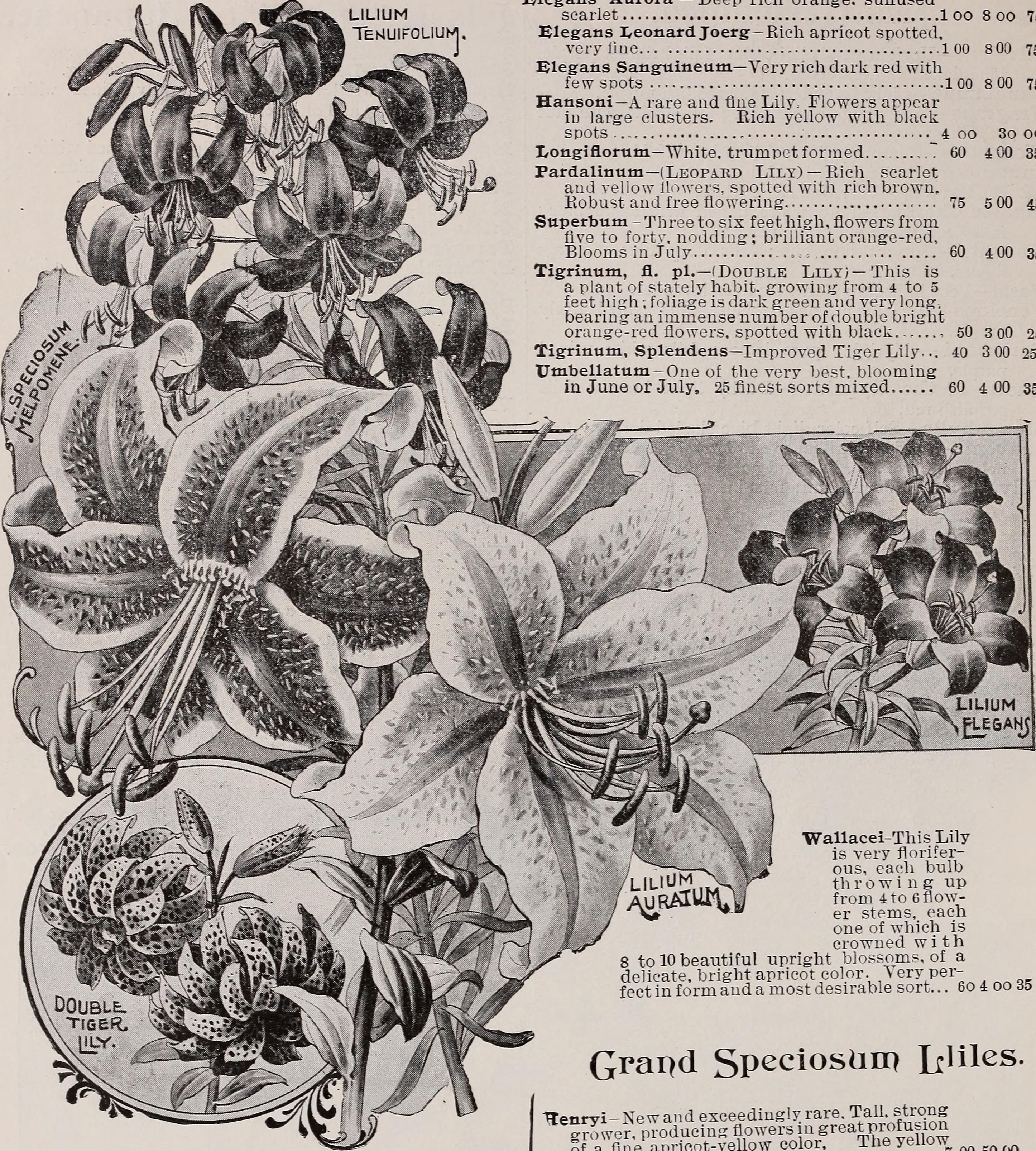 Filetrade price list of choice gladioli lilies and various bulbs filetrade price list of choice gladioli lilies and various bulbs and plants grown izmirmasajfo