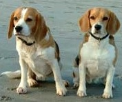 English: Two Beagles