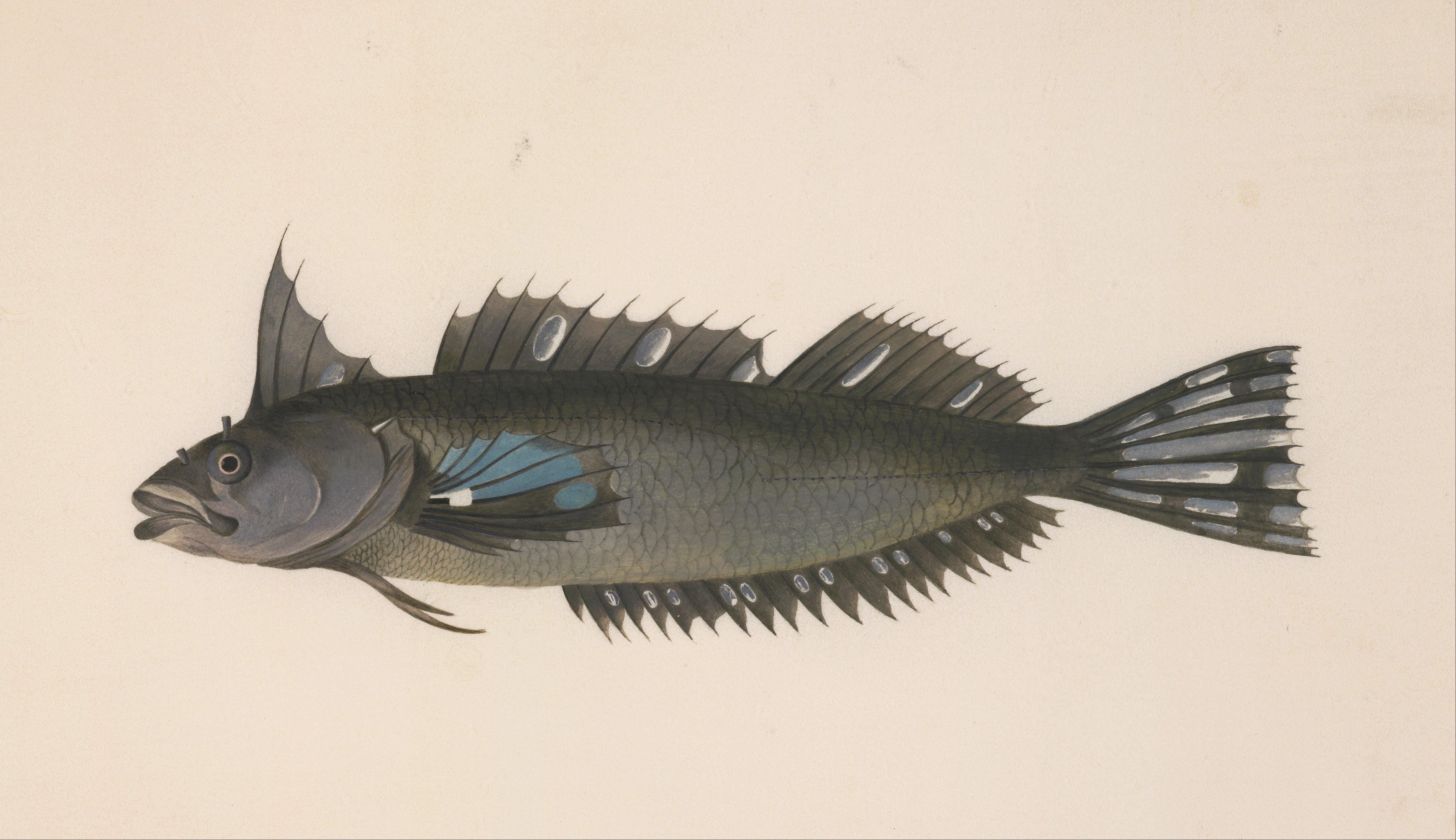 File unknown after georg forster a fish from new for New zealand fish