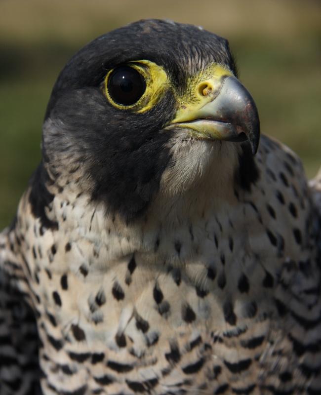 Vándorsólyom (Falco peregrinus) az Év madara 2018