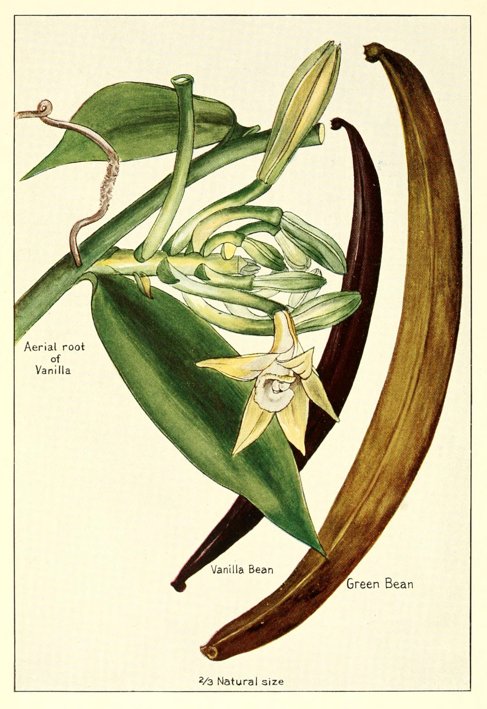 Growing the Vanilla Bean Orchid Plant - Flowers