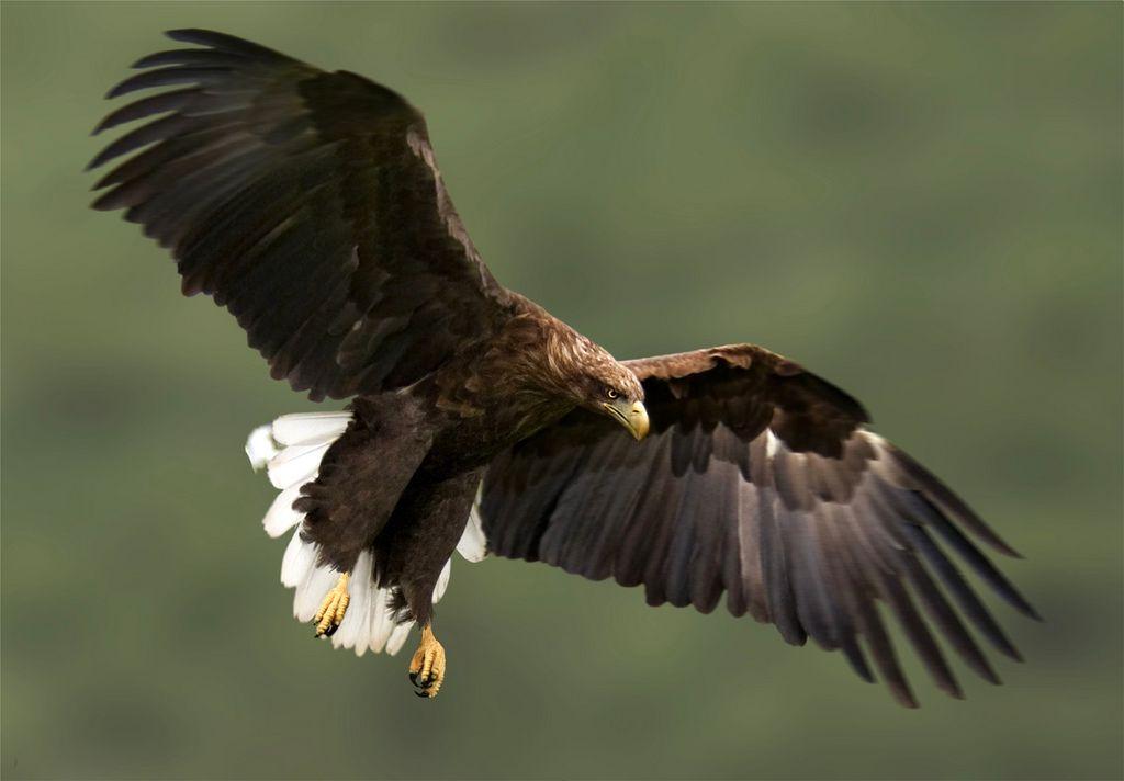 Der Seeadler, ein geschützter Greifvogel