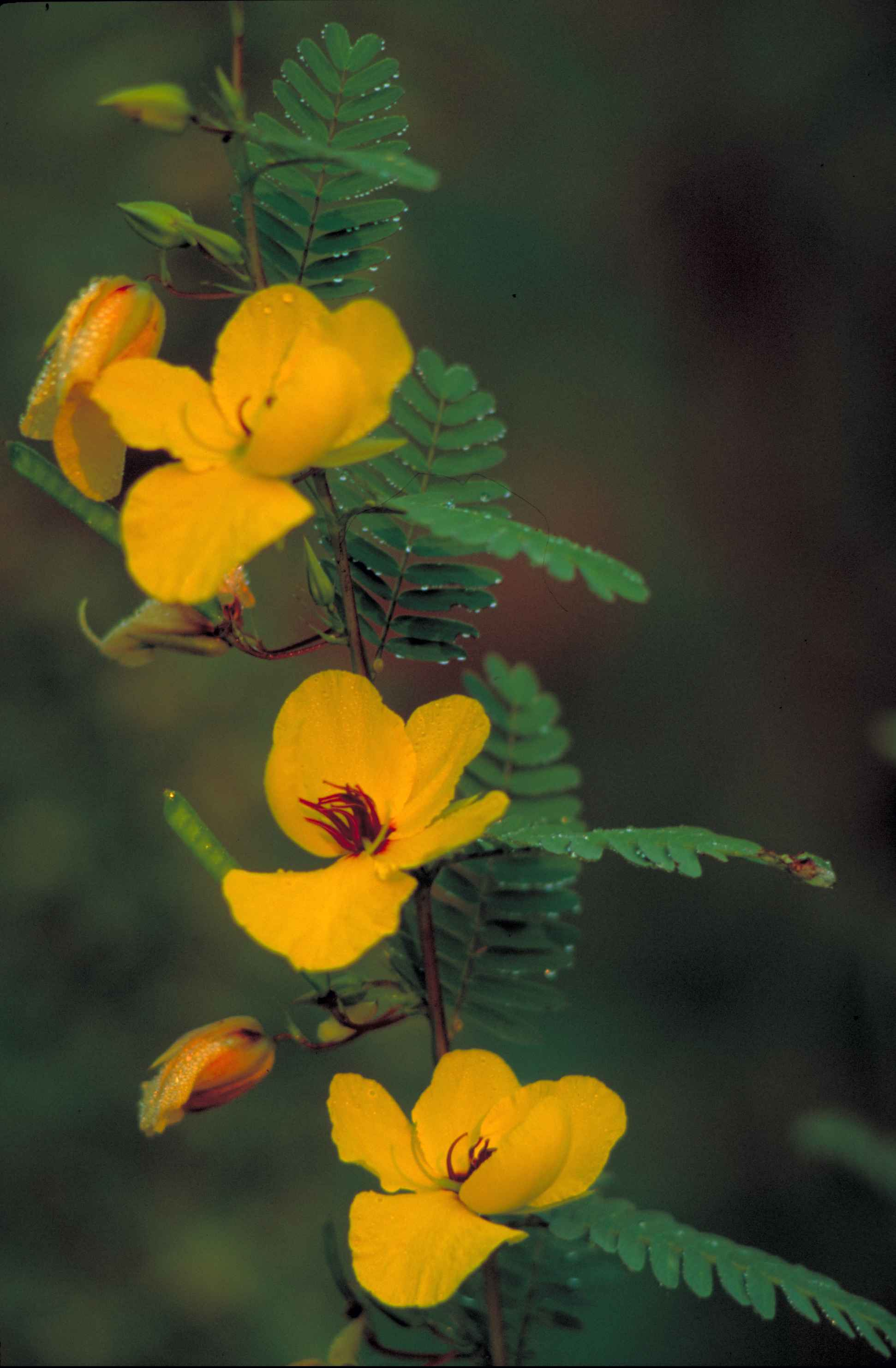 Fileyellow Partridge Pea Flower With Red Center Cassia Fasciculata