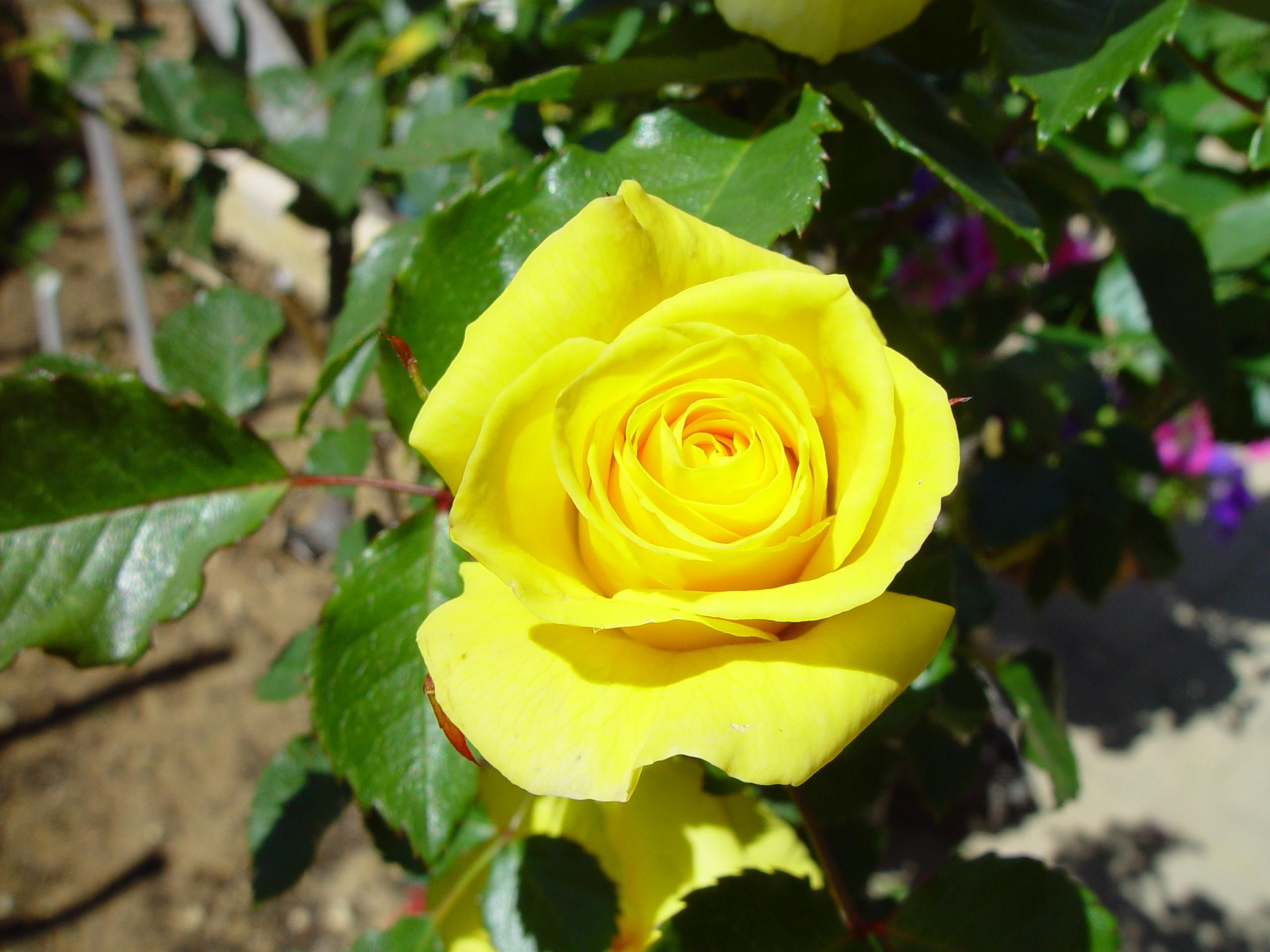 Fileyellow Rose 1g Wikimedia Commons