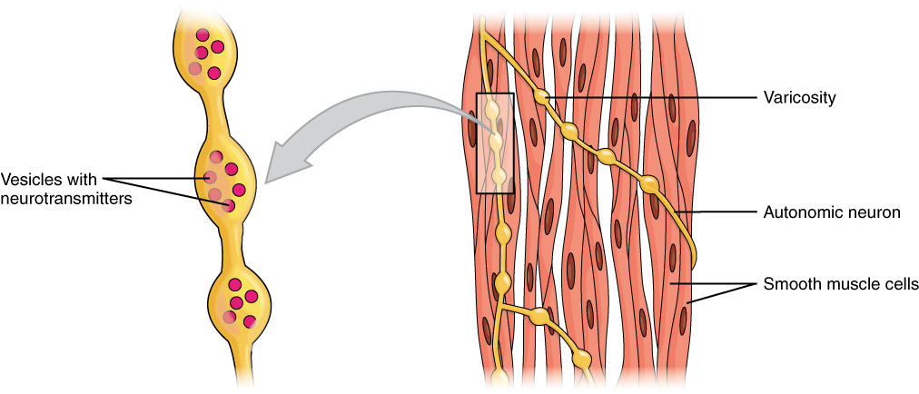 1029 Smooth Muscle Motor Units.jpg