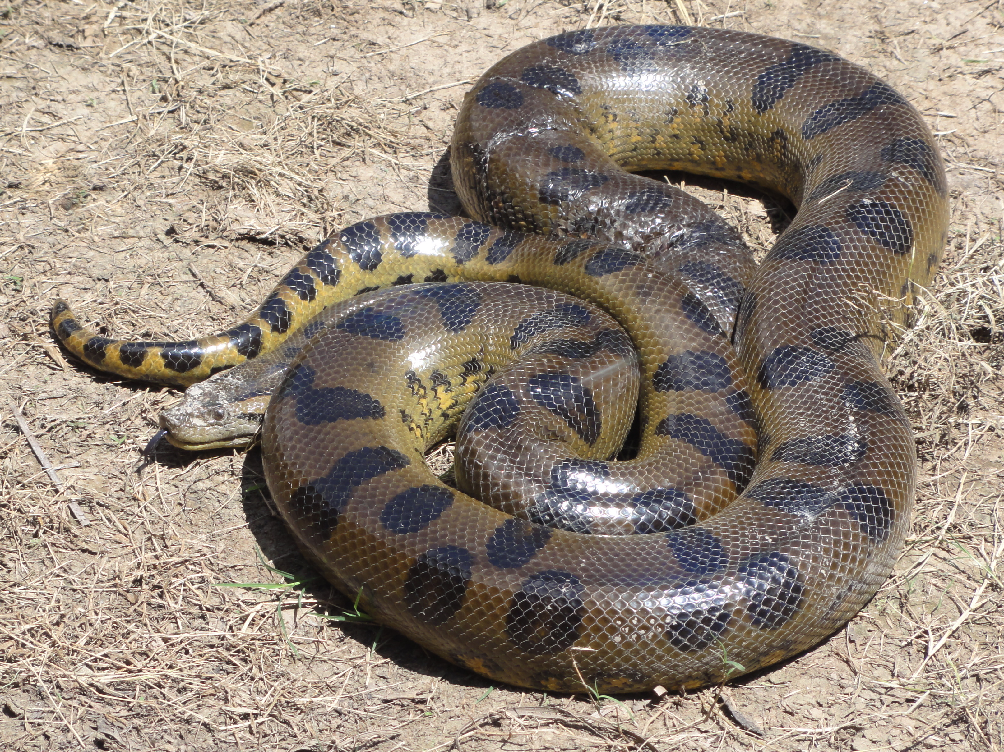 Green anaconda - Wikipedia