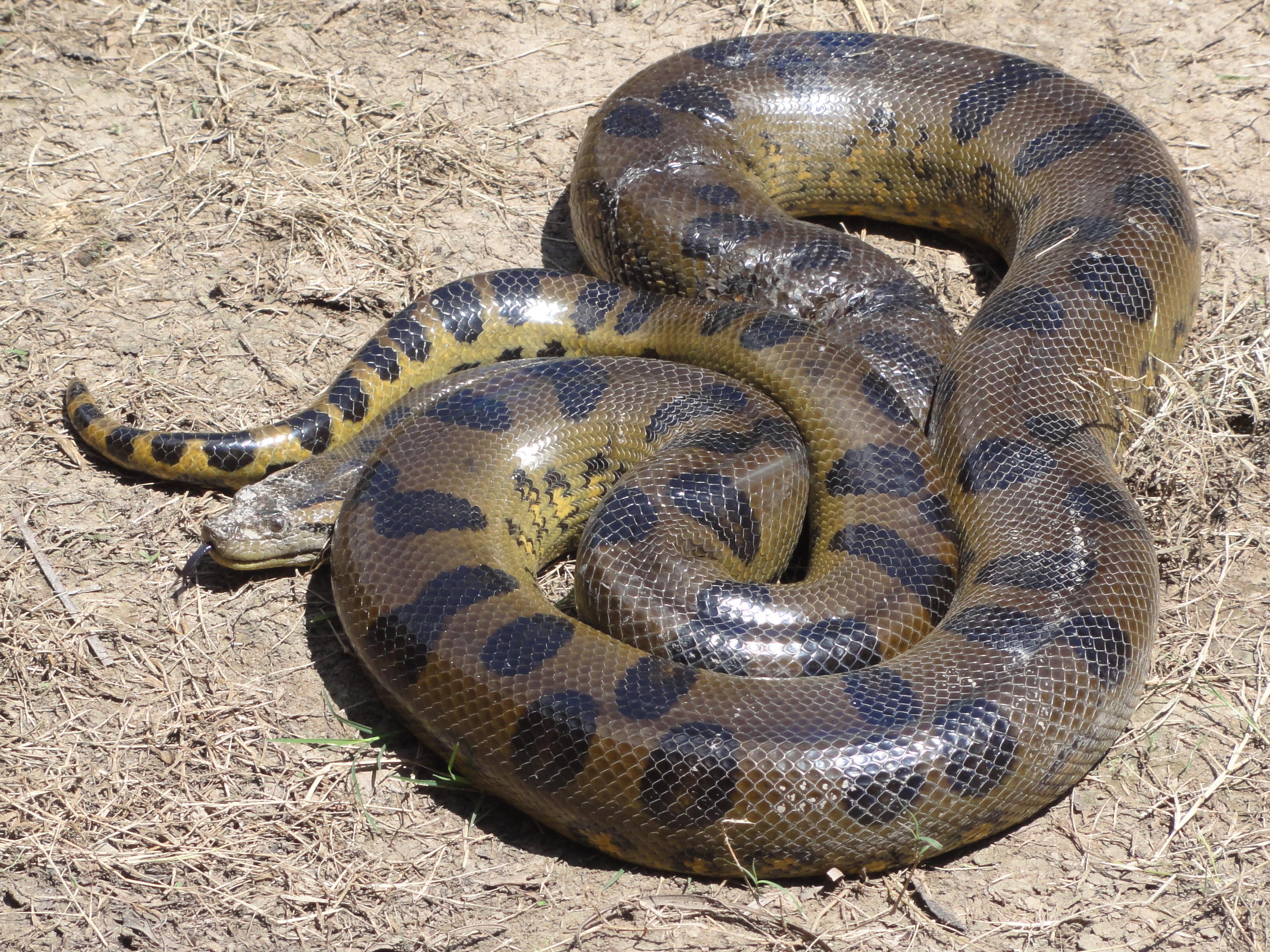 Green Anaconda Wikipedia Snake Skeleton Diagram Find The Incredible