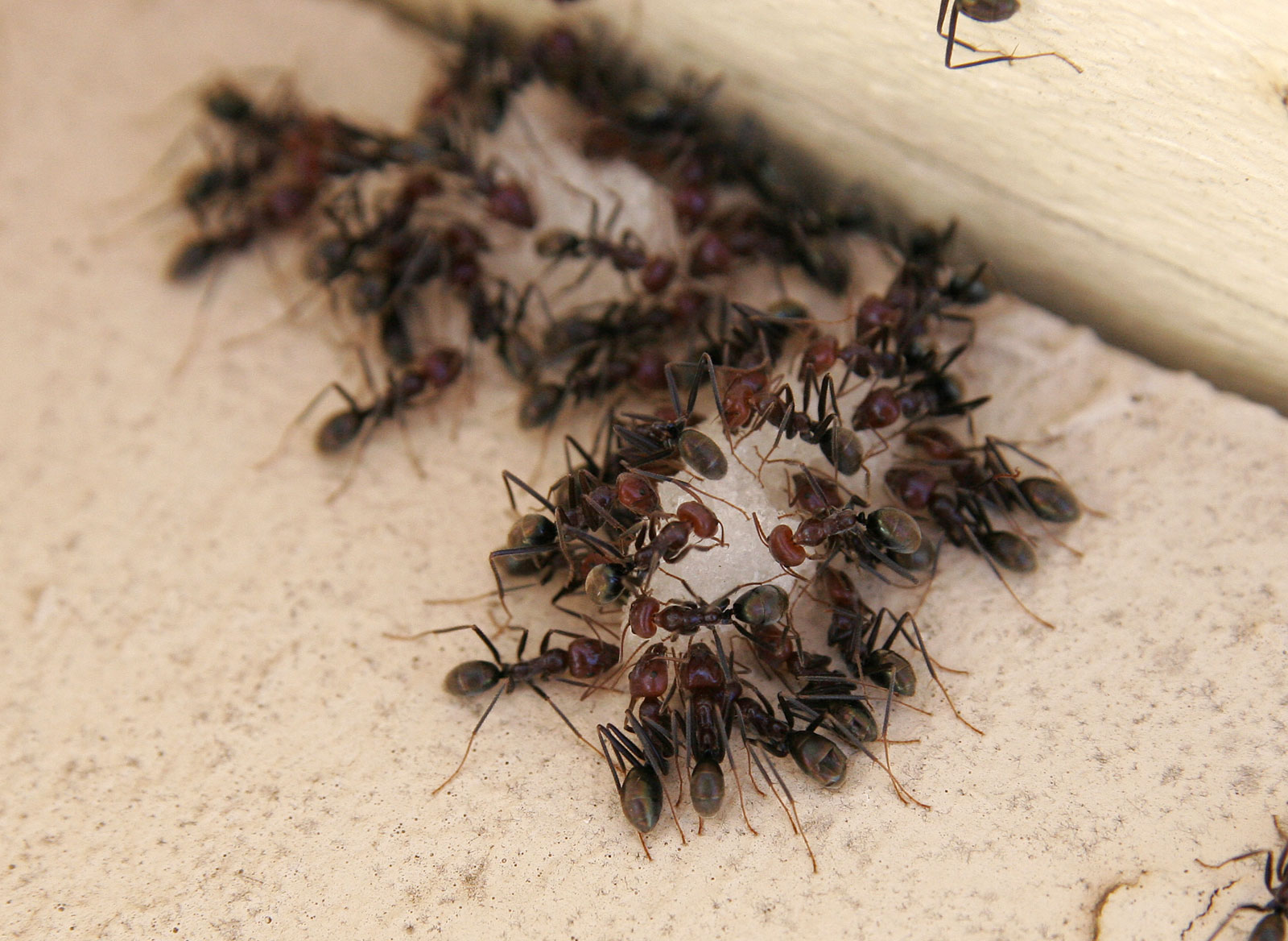 http://upload.wikimedia.org/wikipedia/commons/0/09/Ants_eating.jpg