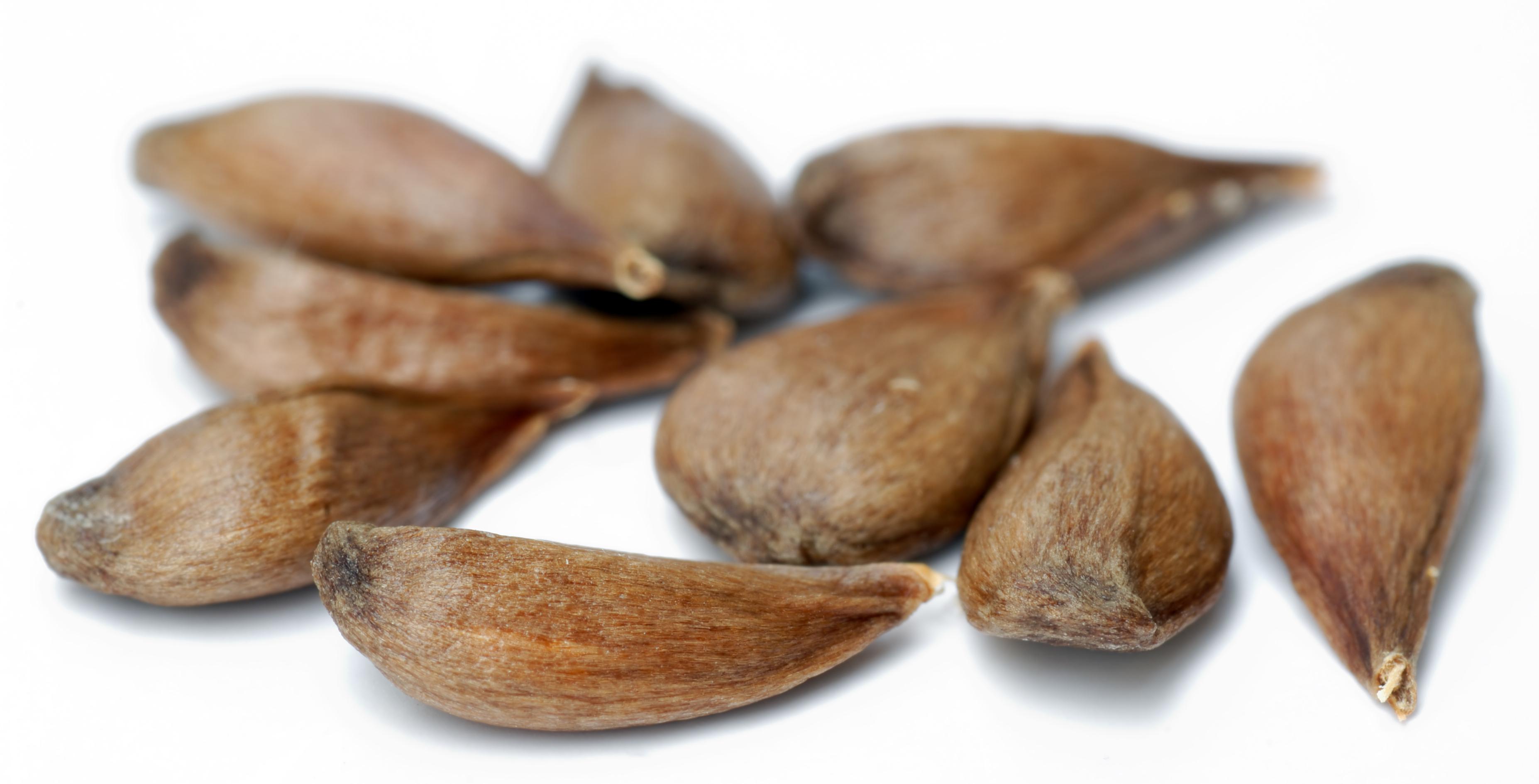 File Apple Seeds - Variety Pinova  Aka  Jpg