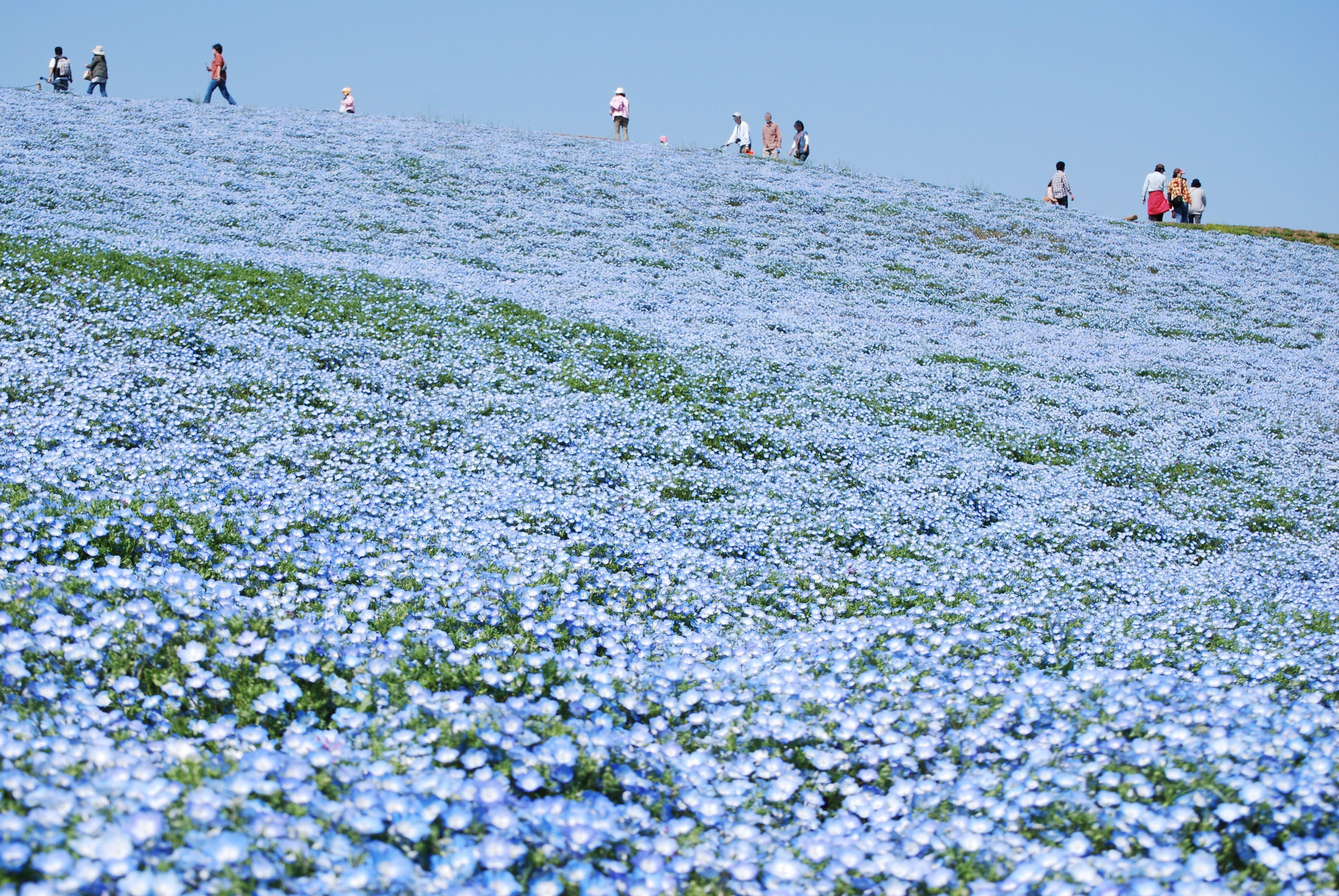 Синие цветы с названиями - Фото цветов 9
