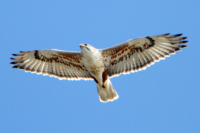 Buteo_regalis_-California_-flying-8-4c.jpg (638×424)